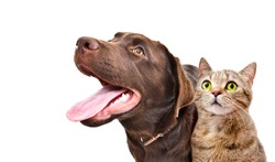 Portrait of a funny Labrador and a curious cat Scottish Straight, closeup, side view, isolated on white background