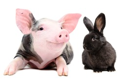Portrait of a funny little pig and cute black rabbit, isolated on white background