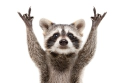 Portrait of a funny raccoon showing a rock gesture isolated on white background