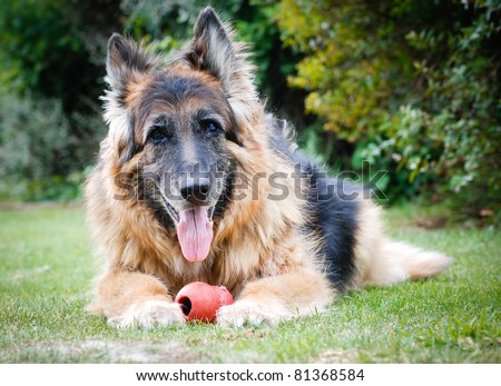 Portrait of a German Shepherd Alsatian Dog with toy