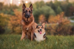 portrait of a German shepherd and welsh corgi pembroke on grass