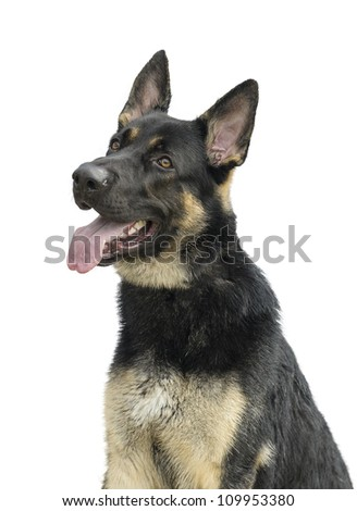 Portrait of a German Shepherd isolated on white