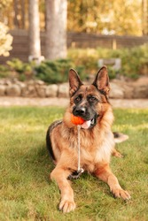 Portrait of a German shepherd with a orange ball in the mouth lying on grass. Purebred dog in summer park.