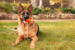 Portrait of a German shepherd with a orange ball in the mouth. Purebred dog in Autumn park.
