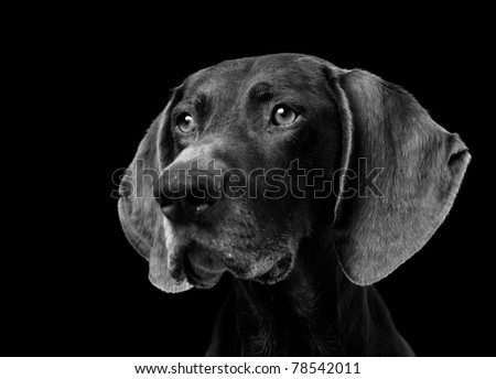 Portrait of a German Shorthaired Pointer isolated on black #78542011