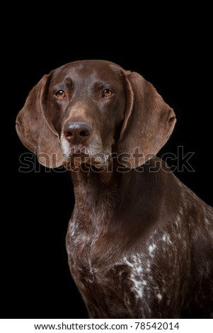 Portrait of a German Shorthaired Pointer isolated on black