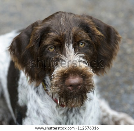 Portrait of a German Wire Haired Pointer