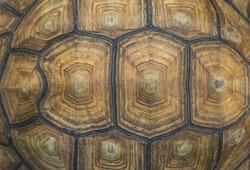 Portrait of a giant tortoise close up.