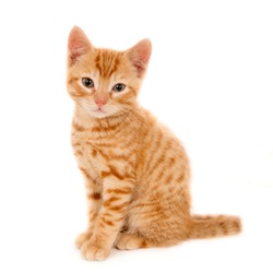 Portrait of a ginger kitten, isolated on white and looking at camera.