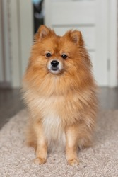 Portrait of a ginger Pomeranian dog on a background of snowy winter. have toning