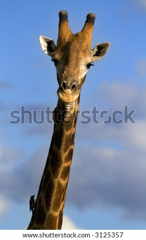 Portrait of a giraffe against cloudy blue sky - stock photo