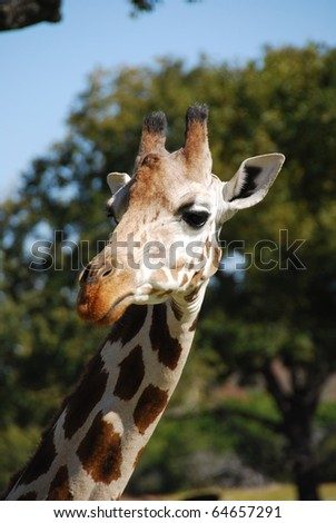 Portrait of a giraffe (giraffa camelopardalis) found in Northeast Kenya