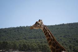 portrait of a giraffe in the field. animals
