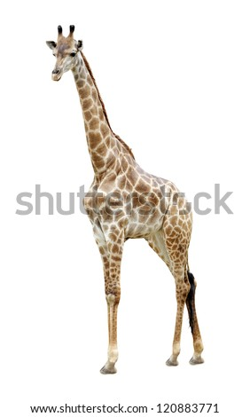 Portrait of a giraffe isolated  on white background #120883771