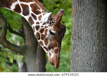 Portrait of a giraffe of mesh (Giraffa camelopardalis reticulata Linnaeus) with the hung head. Side view #679119121