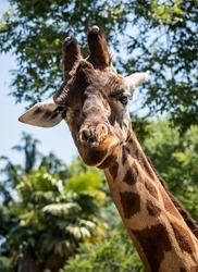 Portrait of a giraffe on a sunny day