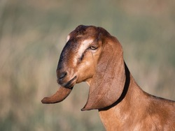 portrait of a goat on a farm with beautiful bokeh