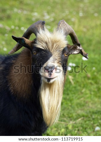 portrait of a goat on the farm