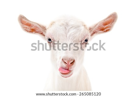 Portrait of a goat showing tongue, close-up, isolated on white background #265085120
