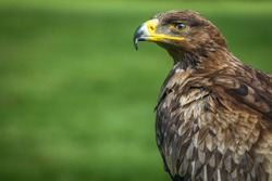 Portrait of a golden eagle living in captivity.