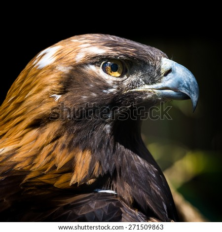 Portrait of a Golden Eagle. The golden eagle (Aquila chrysaetos) is one of the best-known birds of prey in the Northern Hemisphere.