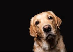 Portrait of a golden labrador retriever on a black background