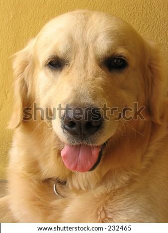 Portrait of a Golden Retriever