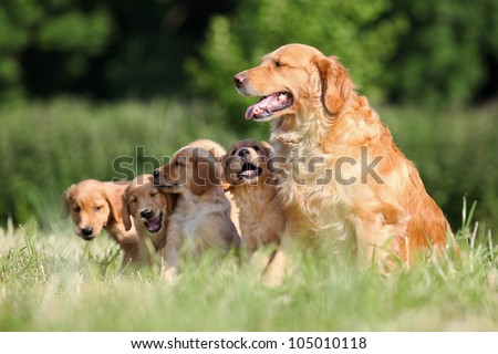portrait of a Golden Retriever mother and puppies