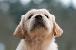 Portrait of a Golden Retriever puppy face with his little black nose. Close up.
