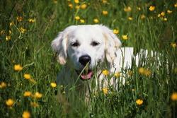 Portrait of a golden retriever puppy in a field of buttercups