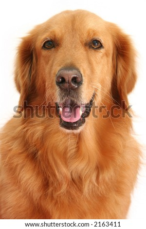 Portrait of a golden retriever shot in the studio - stock photo
