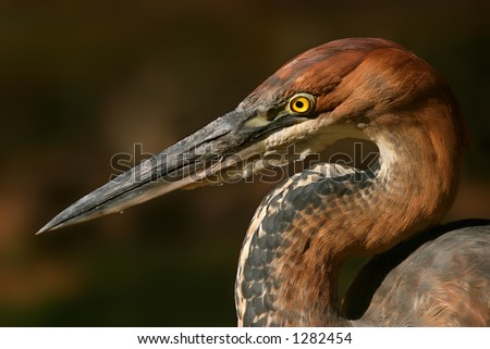 Portrait of a Goliath heron (Ardea goliath), South Africa