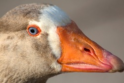 Portrait of a goose with blue eyes. Closeup.