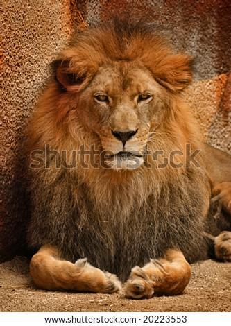 Portrait of a Gorgeous, Golden Lion