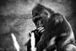Portrait of a gorilla male, severe silverback, on light brown blur background. Grave look of the great ape, the most dangerous and biggest monkey of the world. The chief of a gorilla family. APE.