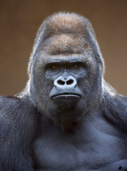 Portrait of a gorilla male, severe silverback, on light brown blur background. Grave look of the great ape, the most dangerous and biggest monkey of the world. Chief of a gorilla family
