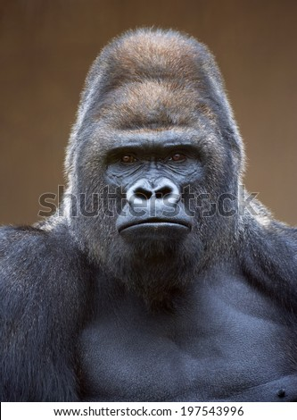 Angry Gorilla Face Free Vector   123Freevectors - photo#32