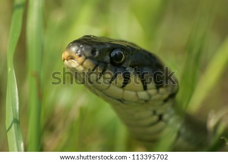 Portrait of a grass snake