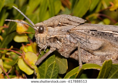 Portrait of a grasshopper (Stolliana spp.) in natural habitat, South Africa