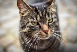 Portrait of a gray-brown tabby European Shorthair cat with a cool facial expression and a soft gray background.
