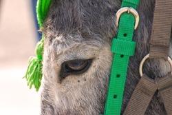 Portrait of a gray donkey in a bridle. Sad eye of a donkey