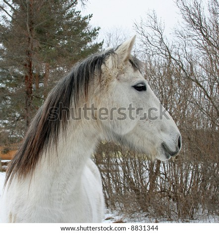 Portrait of a gray horse with natural background.