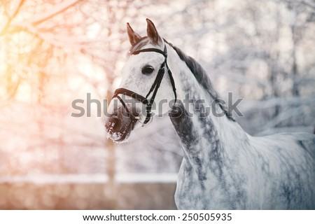 Portrait of a gray sports horse in the winter at sunset. Portrait of a sports stallion. Thoroughbred horse. Beautiful horse.