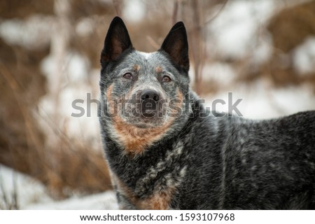 Portrait of a gray with a reddish white speckled large dog breed Australian Healer against the background of trees in the park, looking up