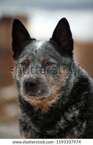 Portrait of a gray with red in white dots large dog breed Australian Healer on a beige and blue natural background