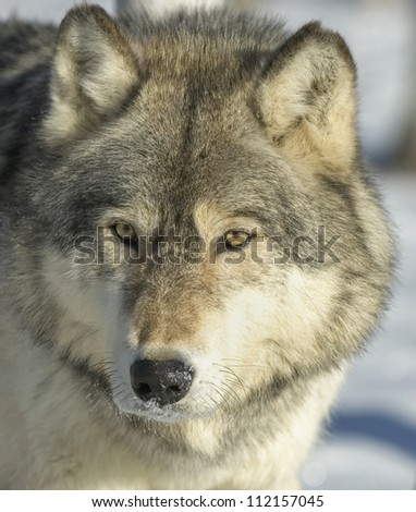Portrait of a gray wolf in winter coat