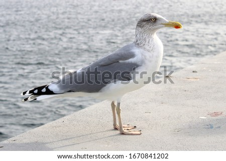 Portrait of a great black-backed gull (european seagull)