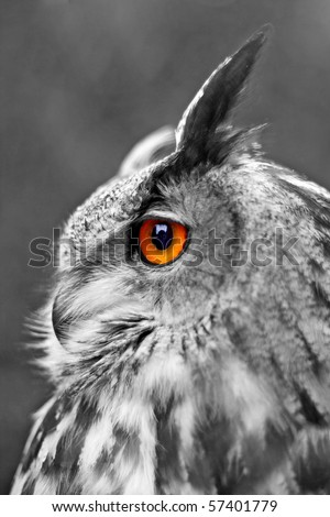 Portrait of a Great Eagle Owl, shallow dof, focus on eye. Selective color.