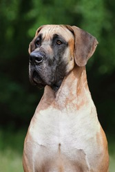 Portrait of a Great Great Dane of a fawn color against a background of greenery. Handsome Great Dane sits on the path in the park and looks into the distance