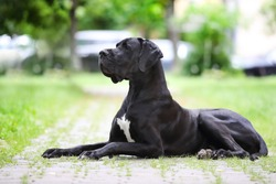 Portrait of a Great Great Dane of black color against a background of greenery. A beautiful Great Dane lies on the path and looks into the distance